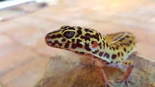 Cara Merawat Gecko yang Benar untuk Pemula