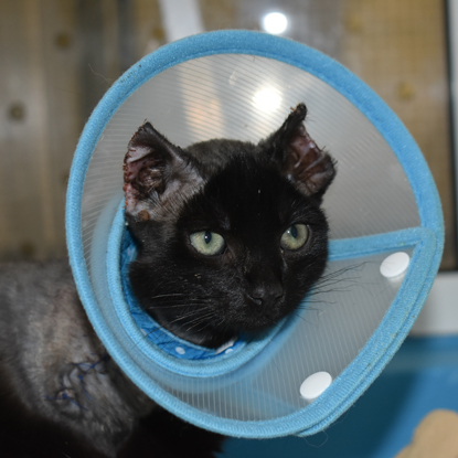 black cat wearing cone collar with burnt ears