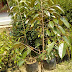 Apa Ciri Ciri Bibit Durian Bawor?