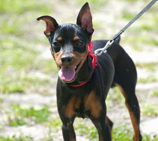 Black and Rust Miniature Pinscher