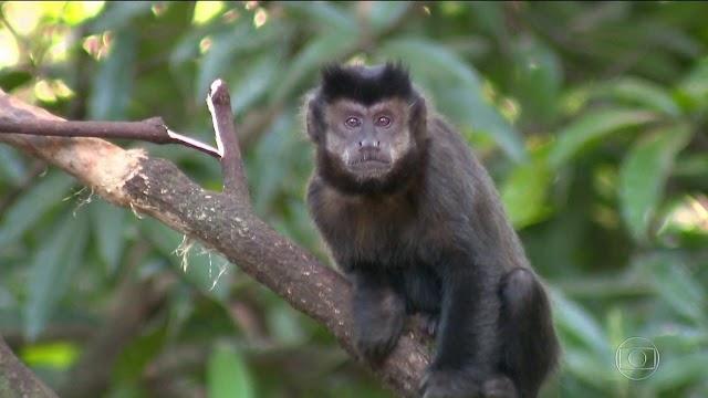 Paraná tem mais 74 macacos mortos por febre amarela