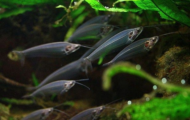 Catfish jenis Ikan Lele Hias