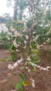 Pohon kopi sedang berbunga