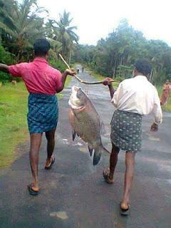 Big River fish carried by Men,Kerala monsoons fishing