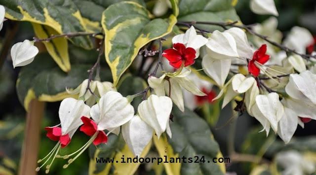 Clerodendrum Thomsoniae indoor plant image