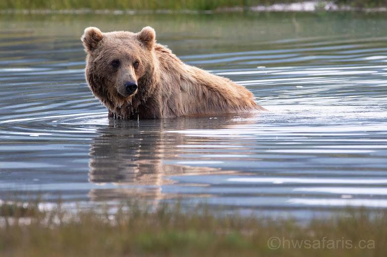 Brown Bear in Creek