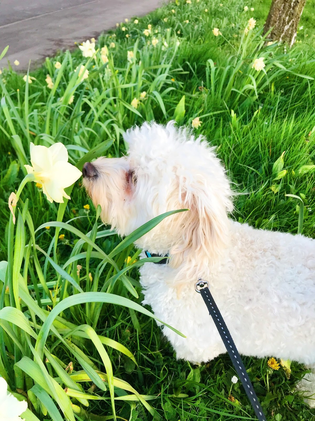 Bear sniffing daffodils on his walk