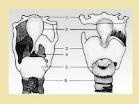Bagian-Bagian Pada Pangkal Tenggorokan