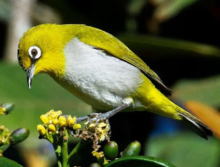 Burung Pleci, Jenis Burung Berkicau