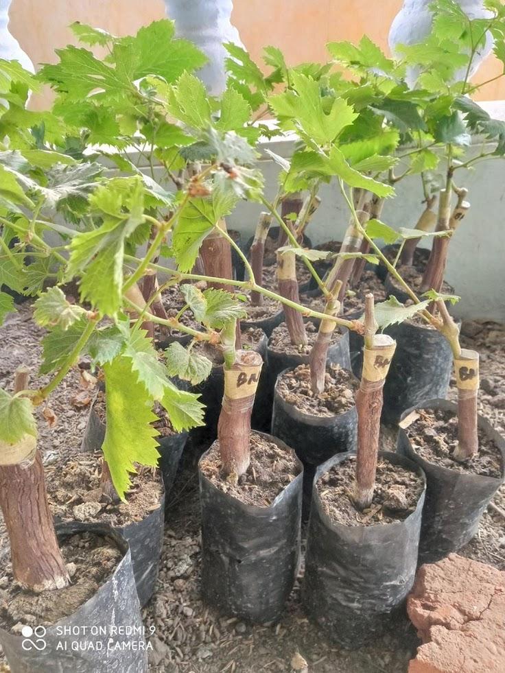 bibit anggur import myheart bibit anggur import bibit buah anggur import Jawa Tengah