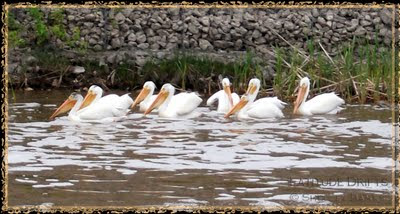 Eight pelicans float in Wascana Creek, Regina, SK