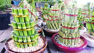 Tanaman Hias untuk Balkon Bambu