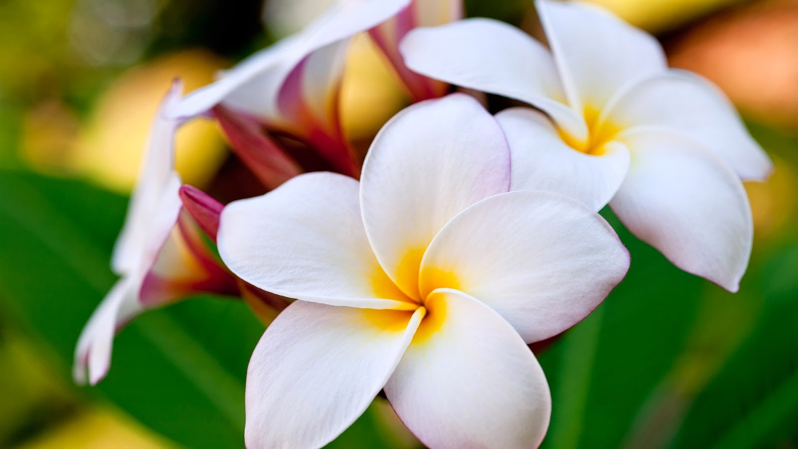 Plumeria hawaiian flowers name izmirmasajfo