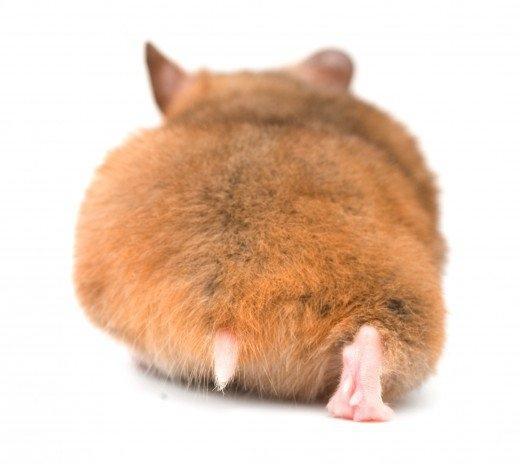 Đặt tên cho chuột Hamster như thế nào cho hay