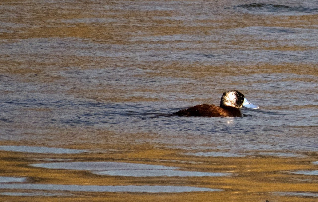 Birds of Patagonia: Ruddy duck with distinctive blue beak near El Calafate Argentina
