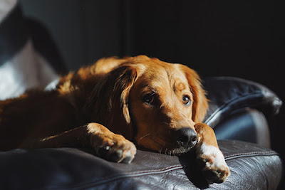 A Golden Retriever lies on a leather couch
