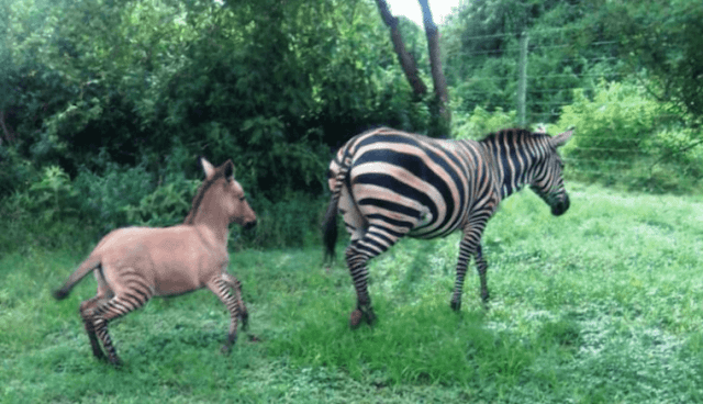 Zebra gives birth to a Zonkey at Chyullu hills national park. PHOTO | RMS