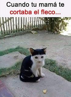 Gato blanco y negro, parece flequillo cortado