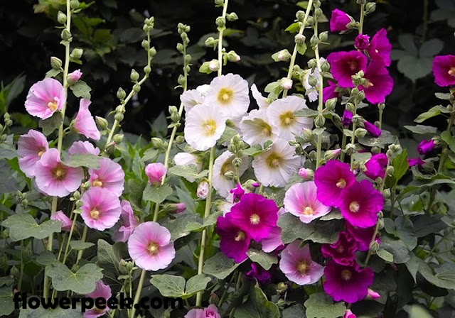 Simple step on how to grow Hollyhock flowers