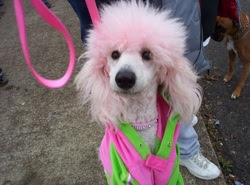 white poodle carma poodale with pink hair
