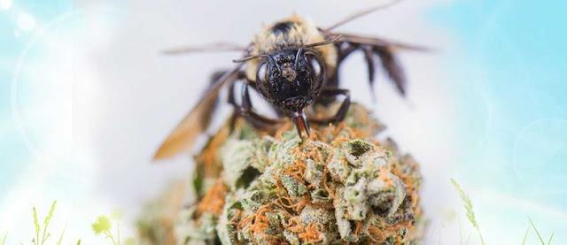 Любовта на пчелите към канабиса!