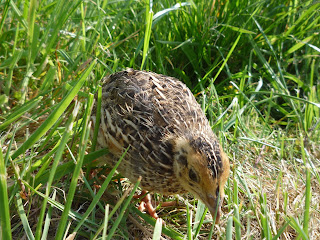 free-ranging organically raised quail