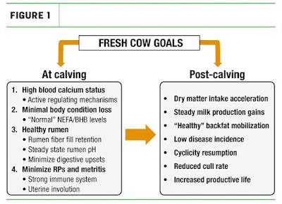 Calcium deficiency in a cow