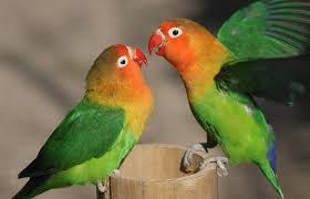 Makanan Lovebird Biar Gacor Yang Biasa Digunakan Oleh Para Peternak