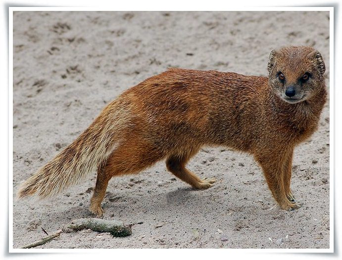 yellow mongoose facts pictures