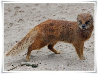 Yellow Mongoose Animal Pictures