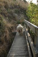 Sheep on a bridge