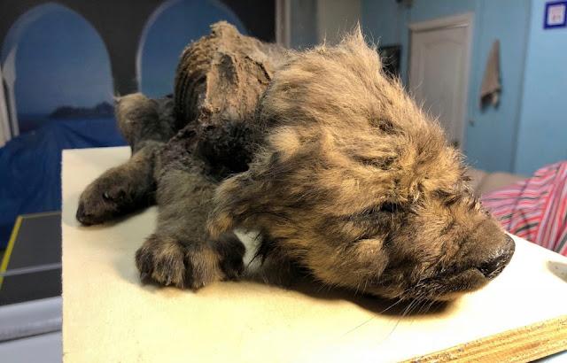 këlyshi i 18000 vjeçar i qenit i gjendur në siberi