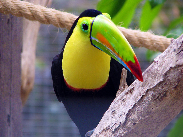Beautiful And Dangerous Animals Birds Hd Wallpapers: Toucan Beautiful Bird Information And New Pictures 2013