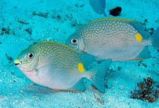 Siganus guttatus - Jenis Jenis Ikan Baronang