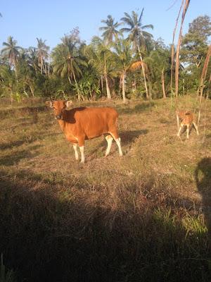 aide leit-lepmets indoneesia inspiratsioon riisipõld riisipõllud lehm vasikaga