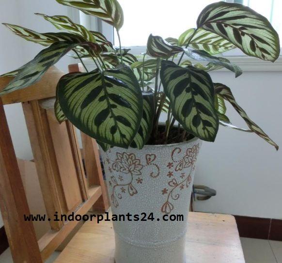 Calathea makoyana marantaceae peacock indoor plant care for Indoor plants with less maintenance