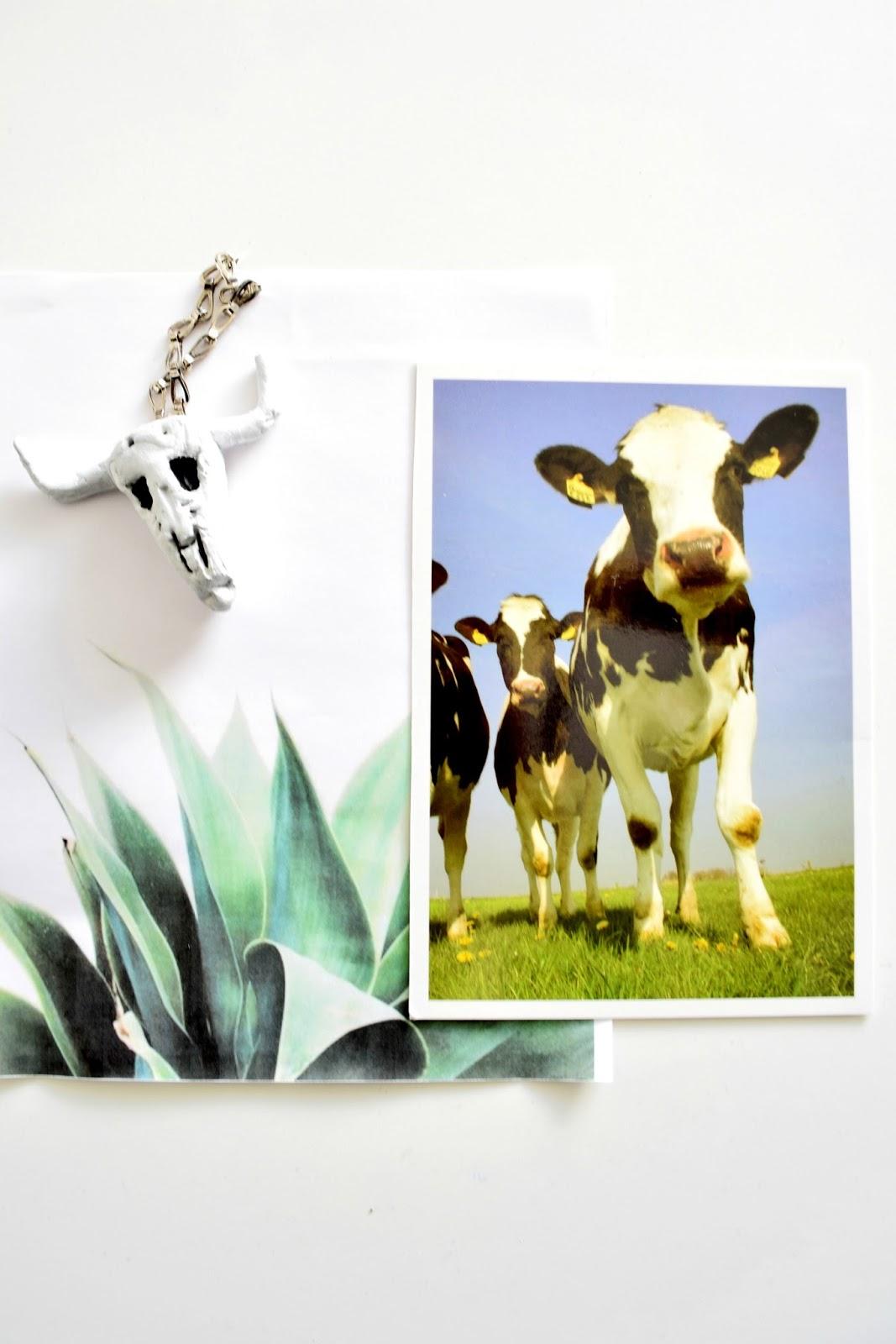 krowy z holandii