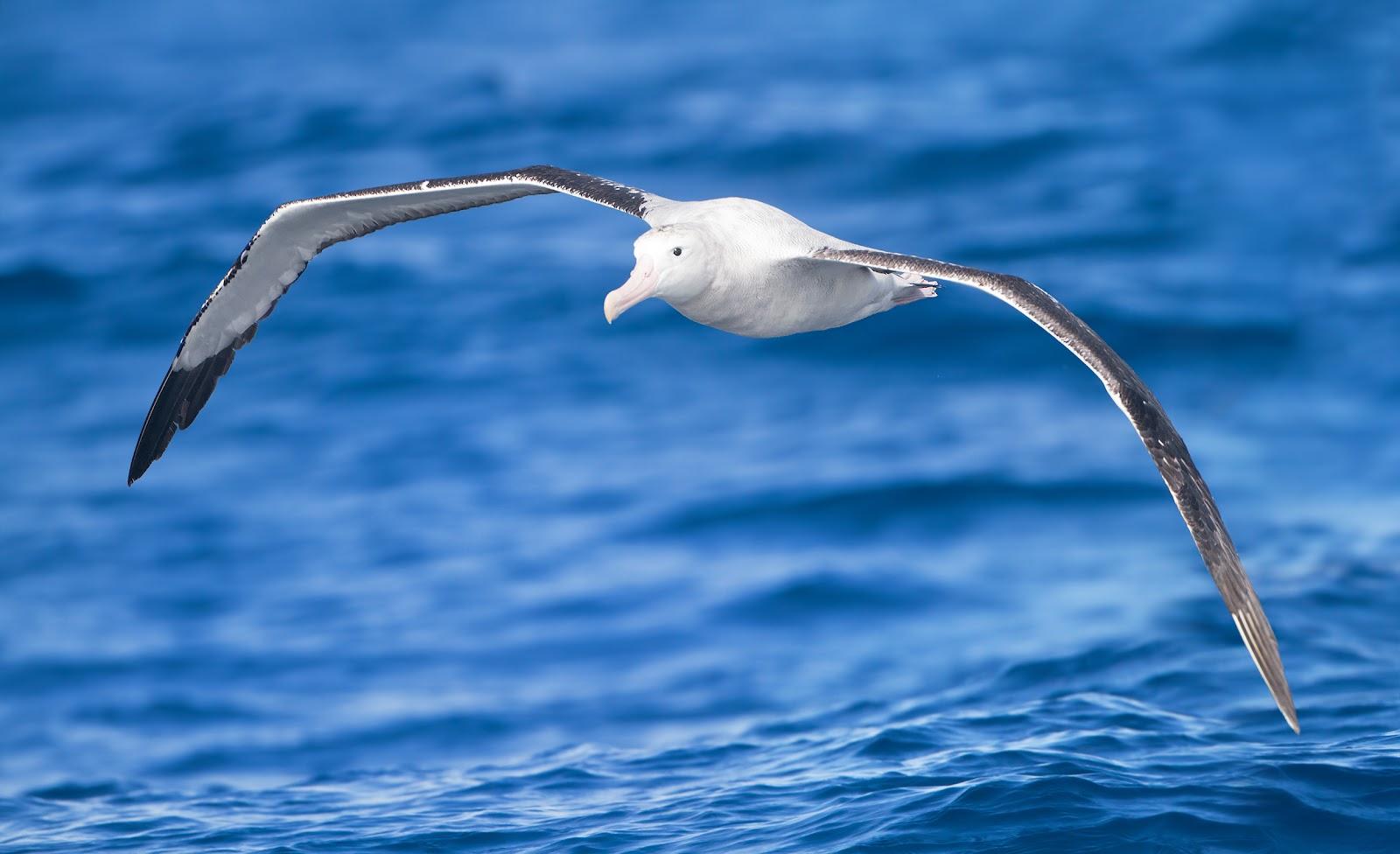 wandering albatross showing its fight position  photo Wikipedia  Wandering Albatross Wallpaper