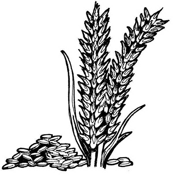 Dibujos de trigo para colorear - Imagui