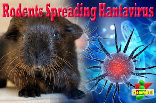 rodents spreading hantavirus