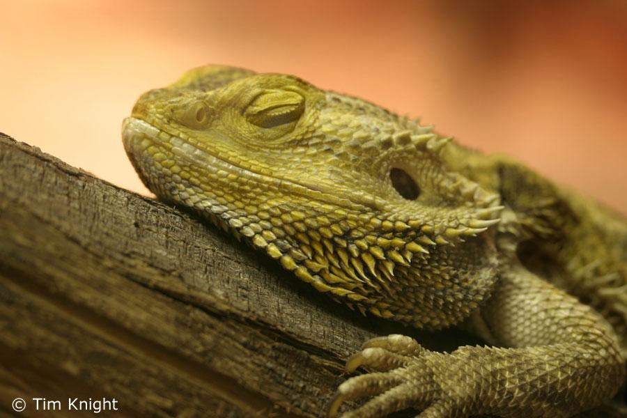 Iguana cages adult