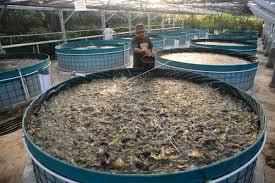 Budidaya Ikan Lele Bioflok Yang Paling Mudah Untuk Di Terapkan