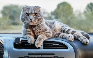 Consejos para viajar en el coche con gatos