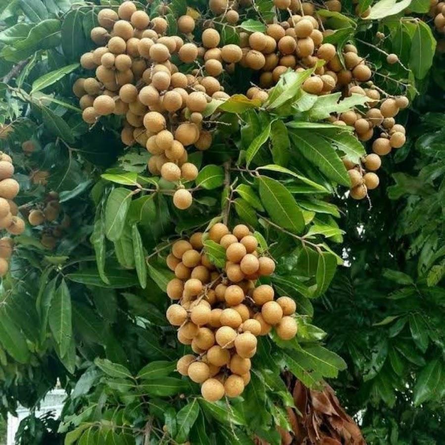 Bibit Kelengkeng Itoh Okulasi Super Sumatra Barat