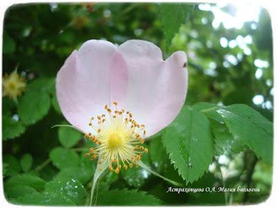 цветущий шиповник, цветок розоцветное, два