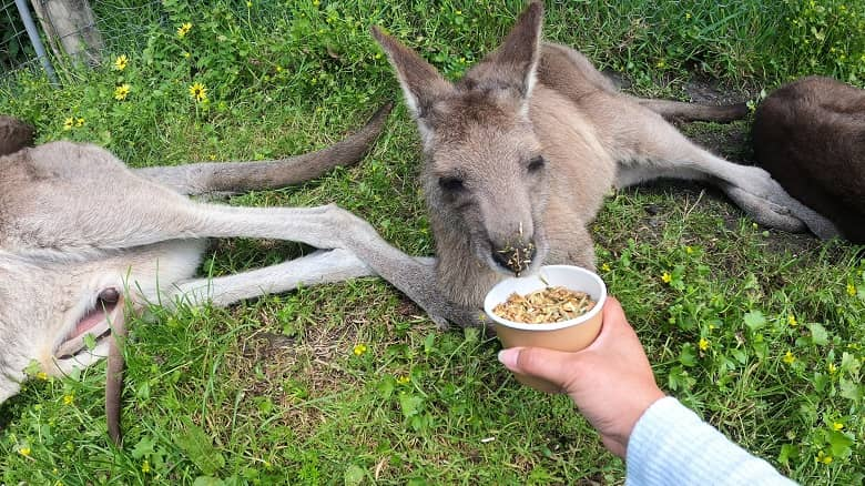 feeding the kangaroo and wallaby at Maru Koala and Animal Park