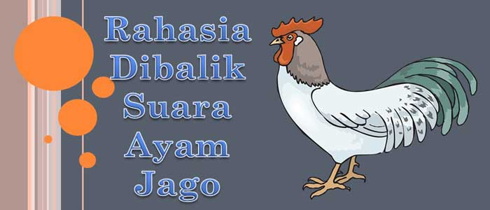 Rahasia Dibalik Suara Ayam Jago