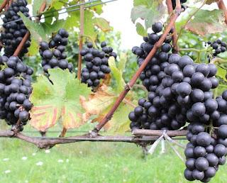 gambar Perawatan tanaman anggur