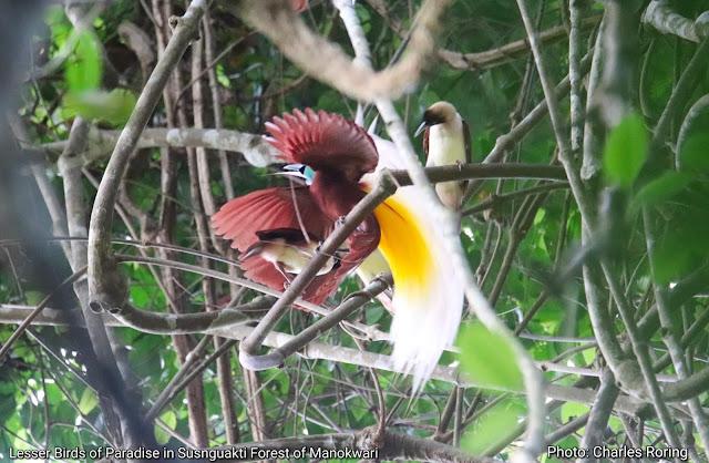 Burung Surga Kuning Kecil