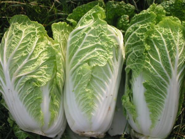Cách trồng Cải thảo & Kỹ thuật trồng cải thảo